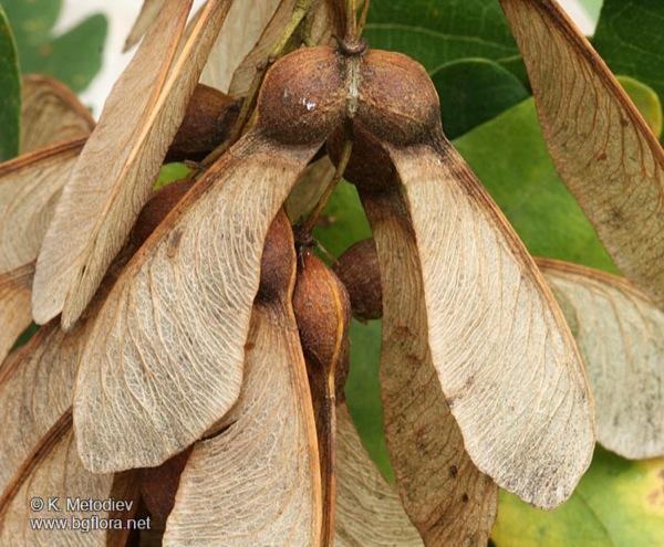 acer-pseudoplatanus vrucht