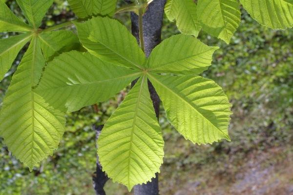 aesculus-hippocastanum blad
