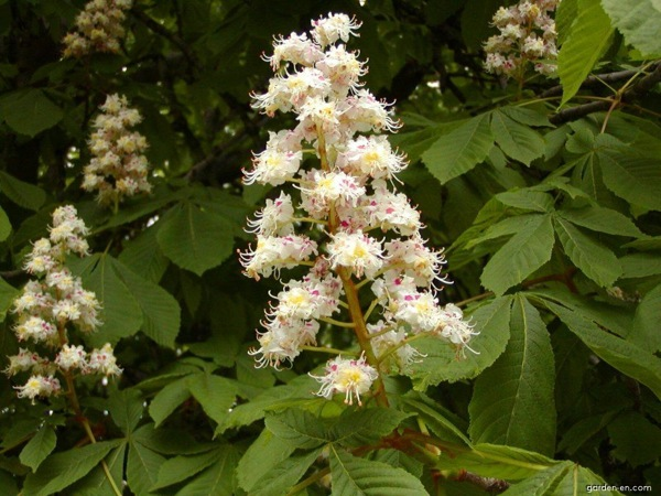 aesculus-hippocastanum bloem
