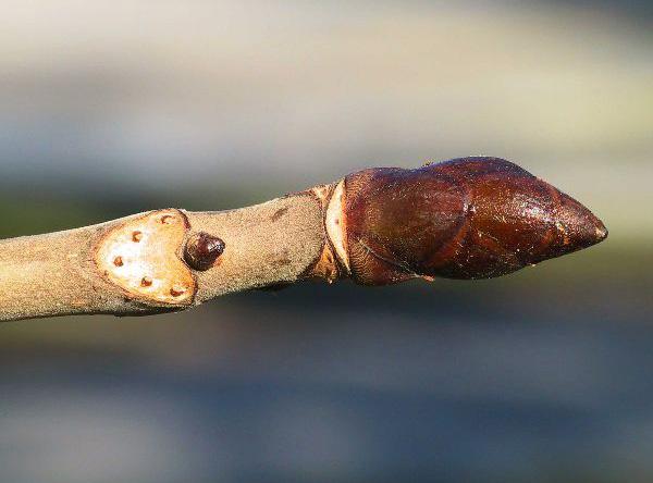 aesculus-hippocastanum twijg