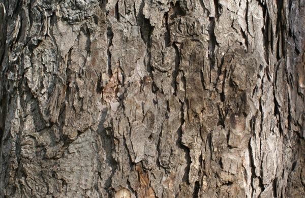 aesculus-hippocastanum schors