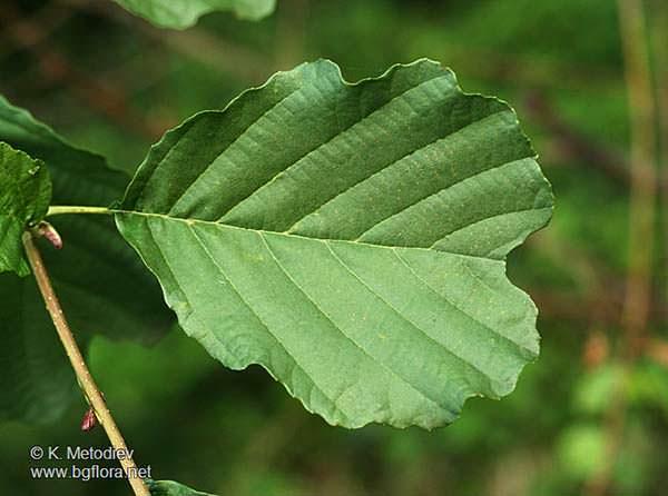 alnus-glutinosa blad