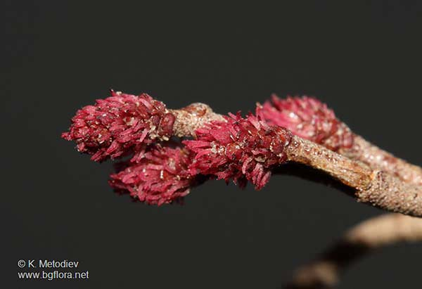 alnus-glutinosa bloem
