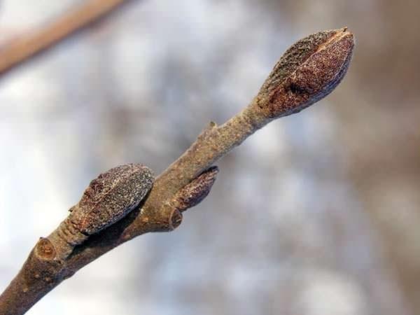 alnus-glutinosa twijg