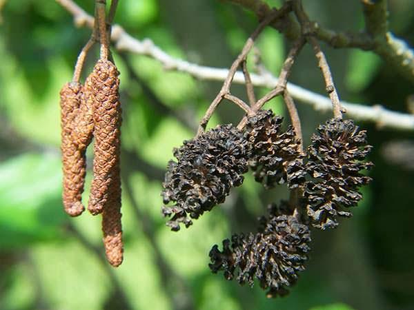 alnus-glutinosa vrucht
