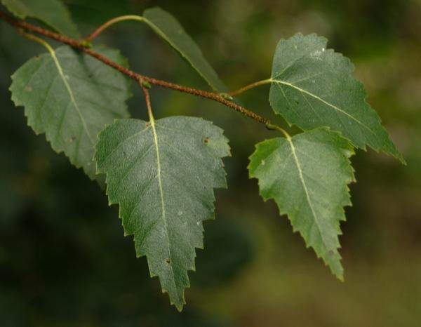 betula-pendula blad
