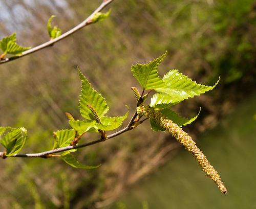 betula-pendula bloem