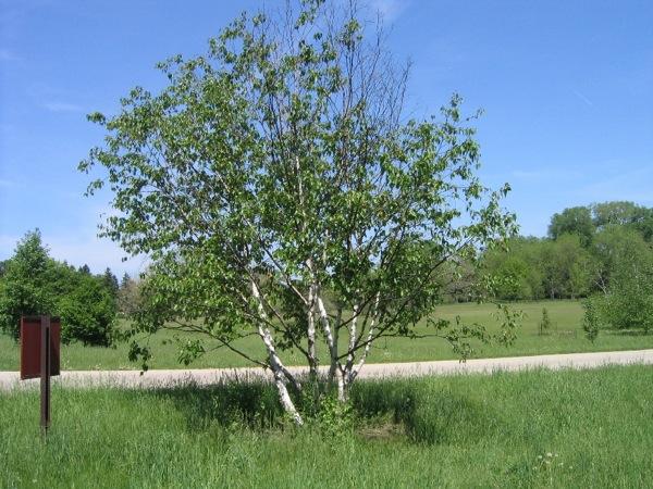 betula-pendula kroon
