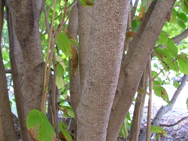 corylus-avellana schors