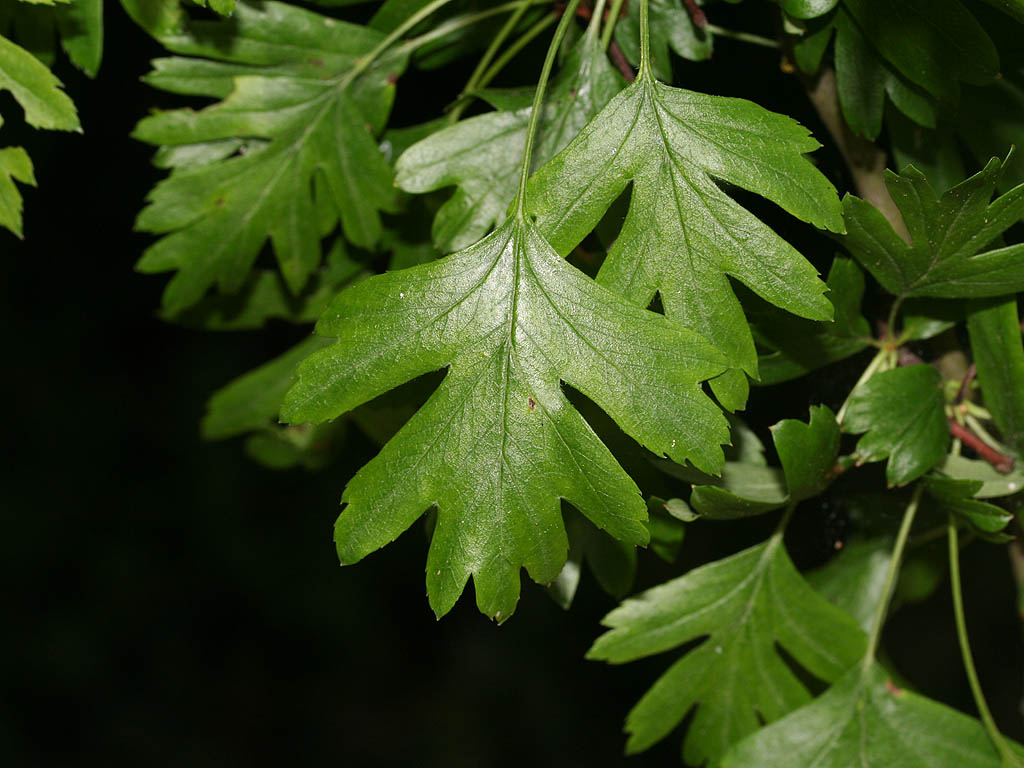 crataegus blad