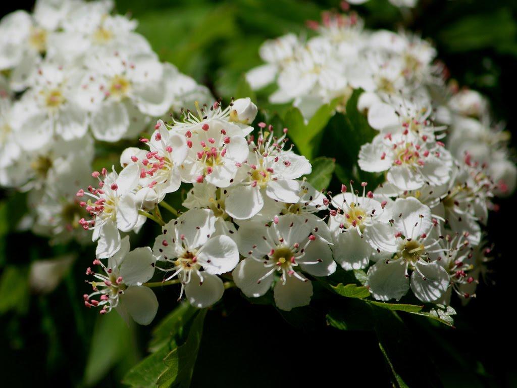 crataegus bloem