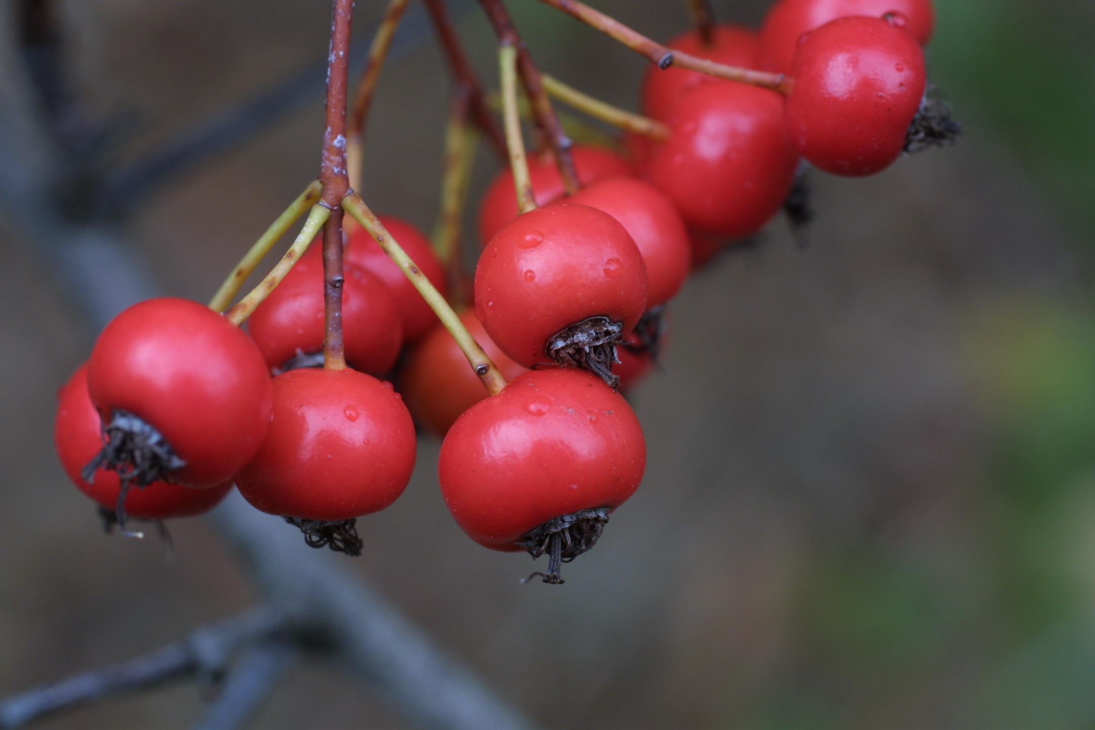 crataegus vrucht