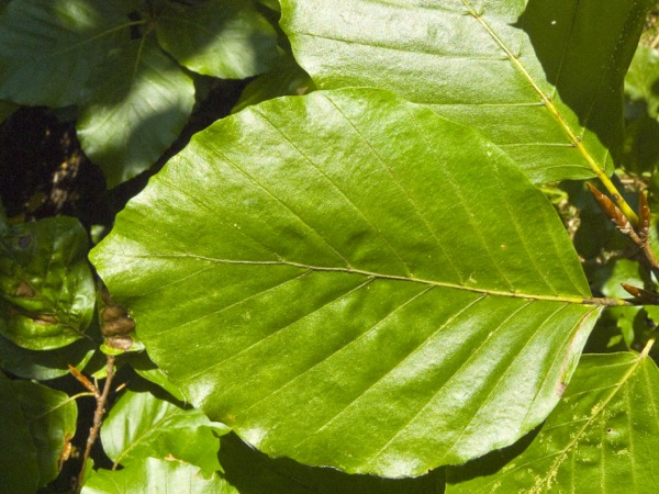 fagus-sylvatica blad