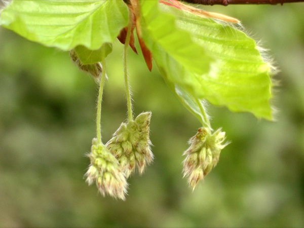 fagus-sylvatica bloem