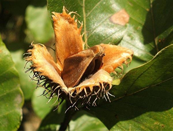 fagus-sylvatica vrucht