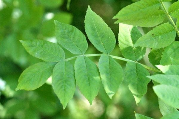 fraxinus-excelsior blad