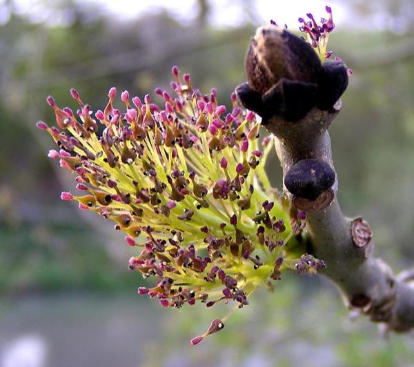 fraxinus-excelsior bloem