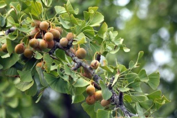 ginkgo-biloba vrucht