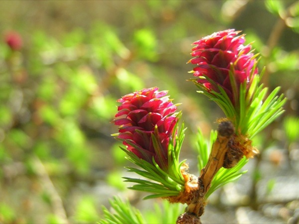 larix-decidua bloem