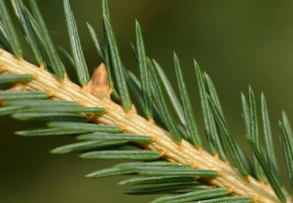 picea-abies blad