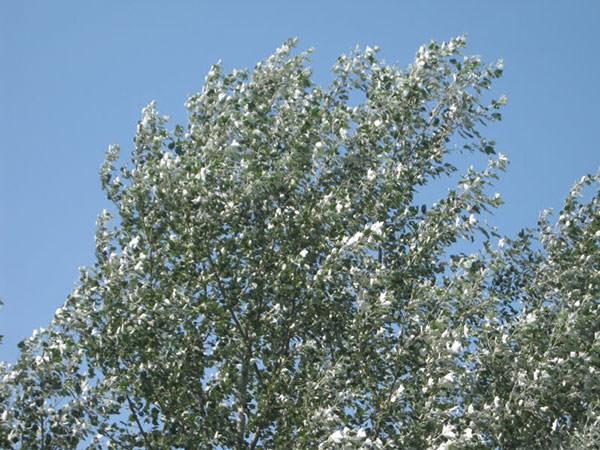 populus-alba kroon
