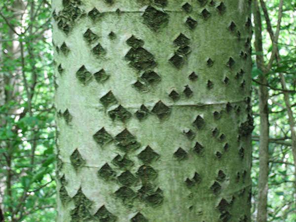 populus-alba schors