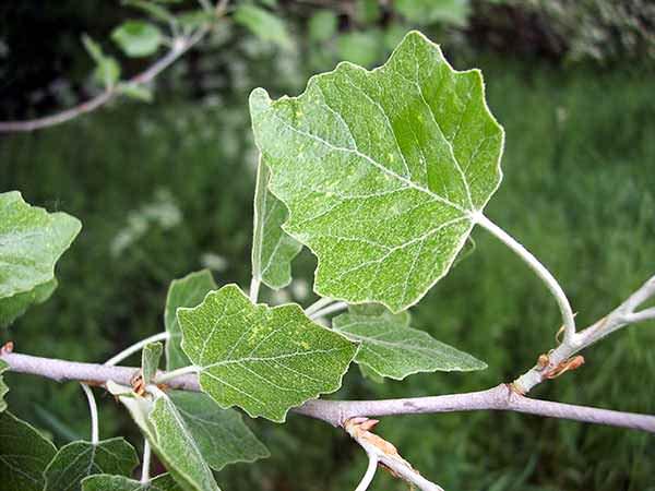 populus-x-canescens blad