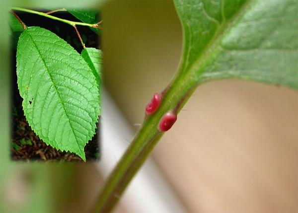 prunus-avium blad