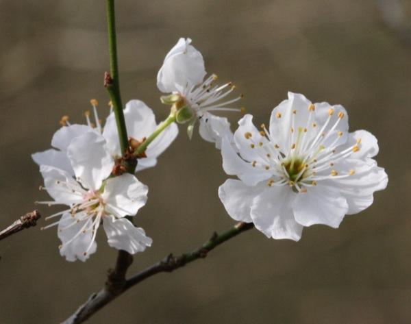 prunus-avium bloem