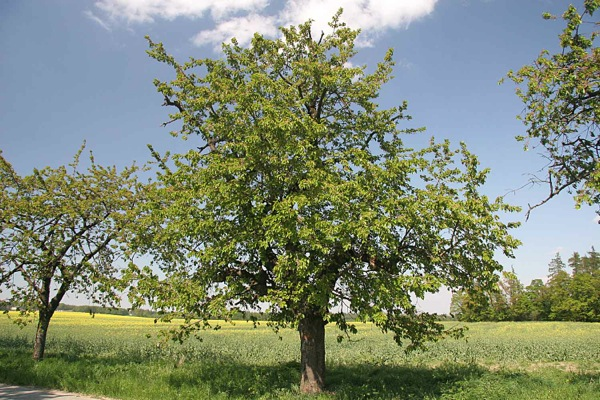 prunus-avium kroon