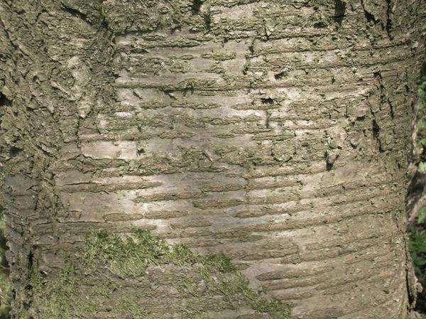 prunus-avium schors