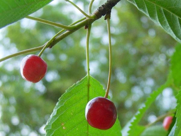 prunus-avium vrucht