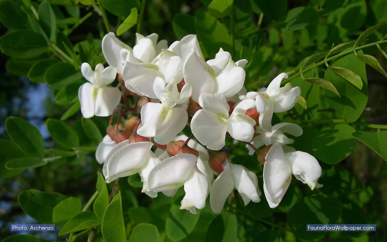 robinia-pseudoacacia bloem