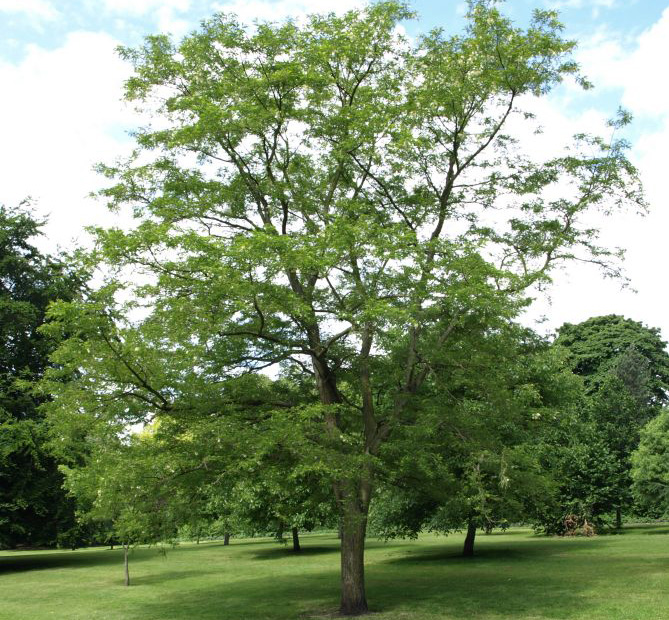 robinia-pseudoacacia kroon