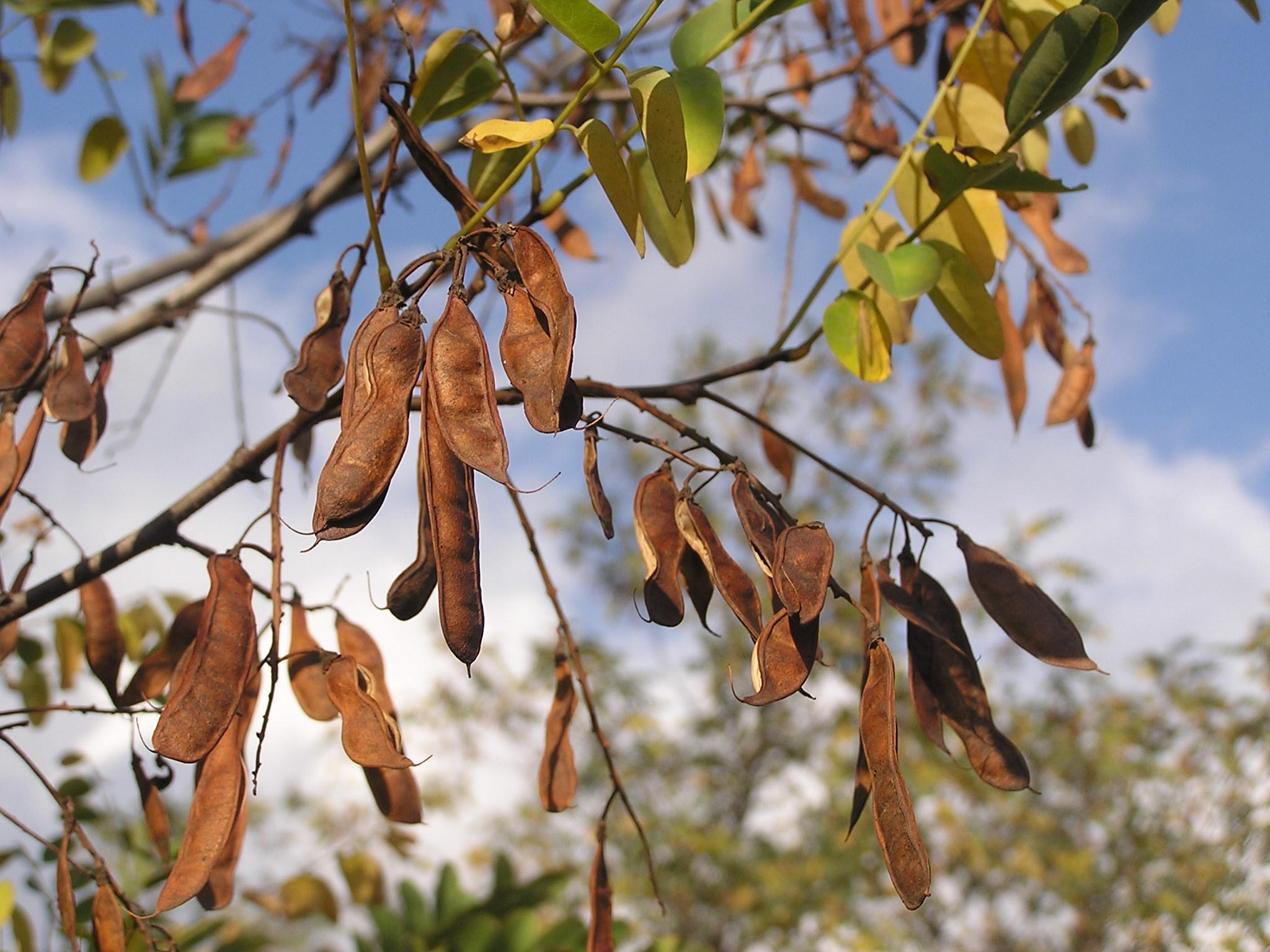 robinia-pseudoacacia vrucht