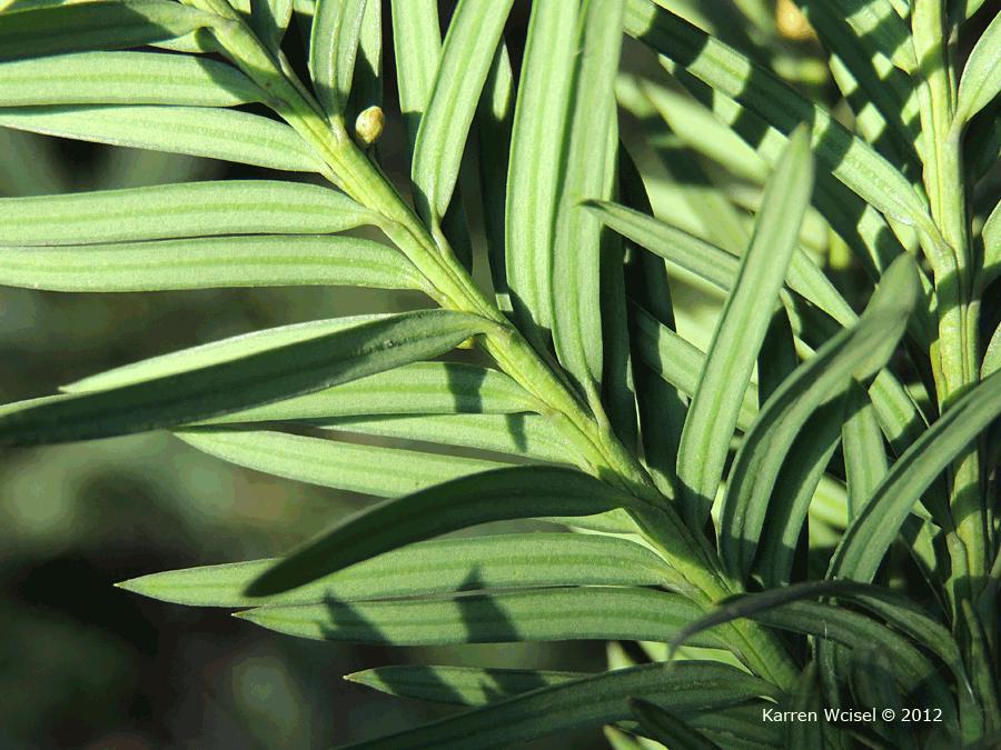 taxus-baccata blad