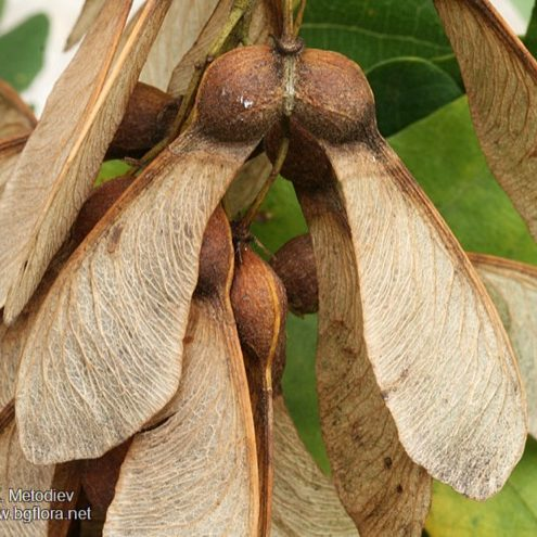 acer-pseudoplatanus-vrucht