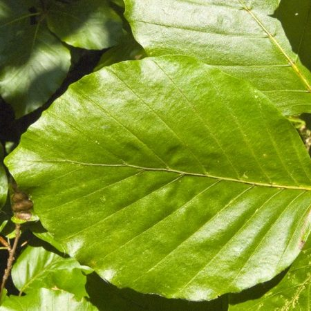 fagus-sylvatica-blad