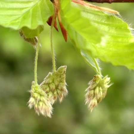 fagus-sylvatica-bloem