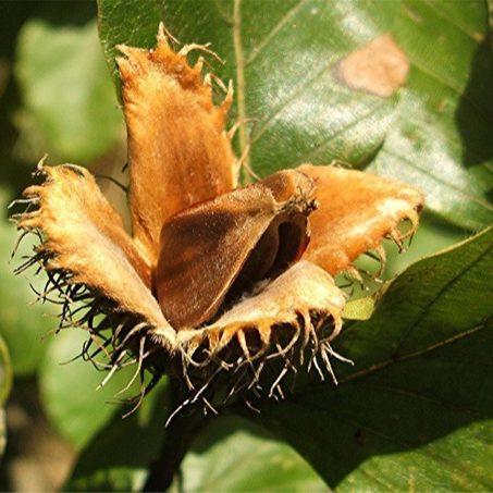 fagus-sylvatica-vrucht