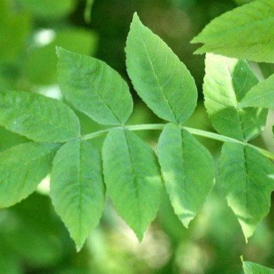 fraxinus-excelsior-blad