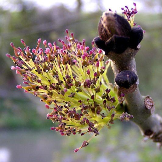 fraxinus-excelsior-bloem