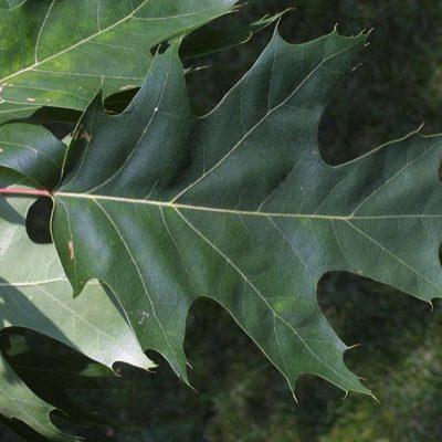 quercus-rubra-blad