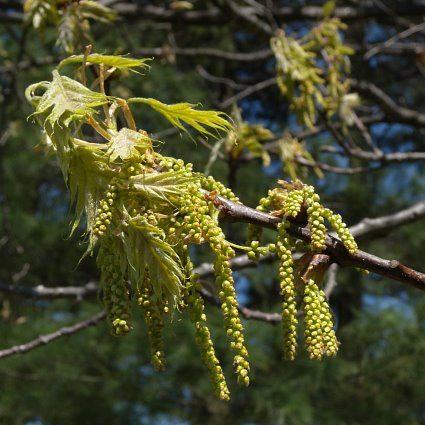 quercus-rubra-bloem
